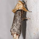 Image of Dudgeoneidae