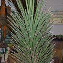 Image of Palma China yucca