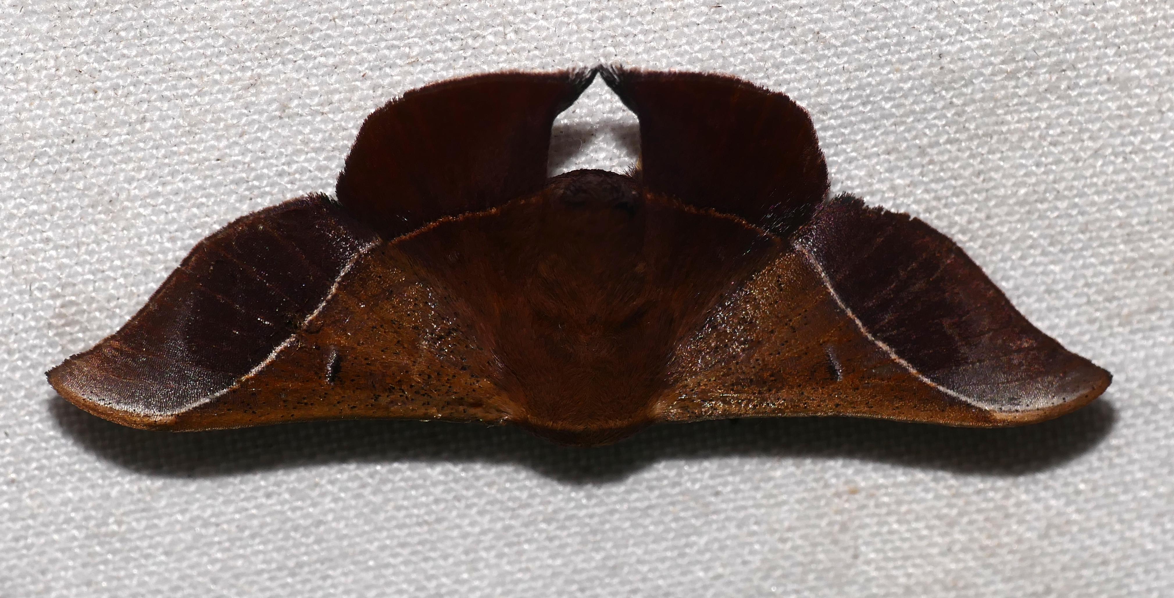 Image of <i>Alheita caudina</i> Schaus 1905