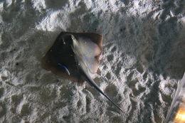 Image of Bluespotted Maskray