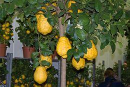 Image of citron