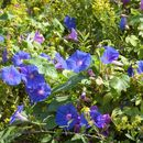 Image of Blue morning glory