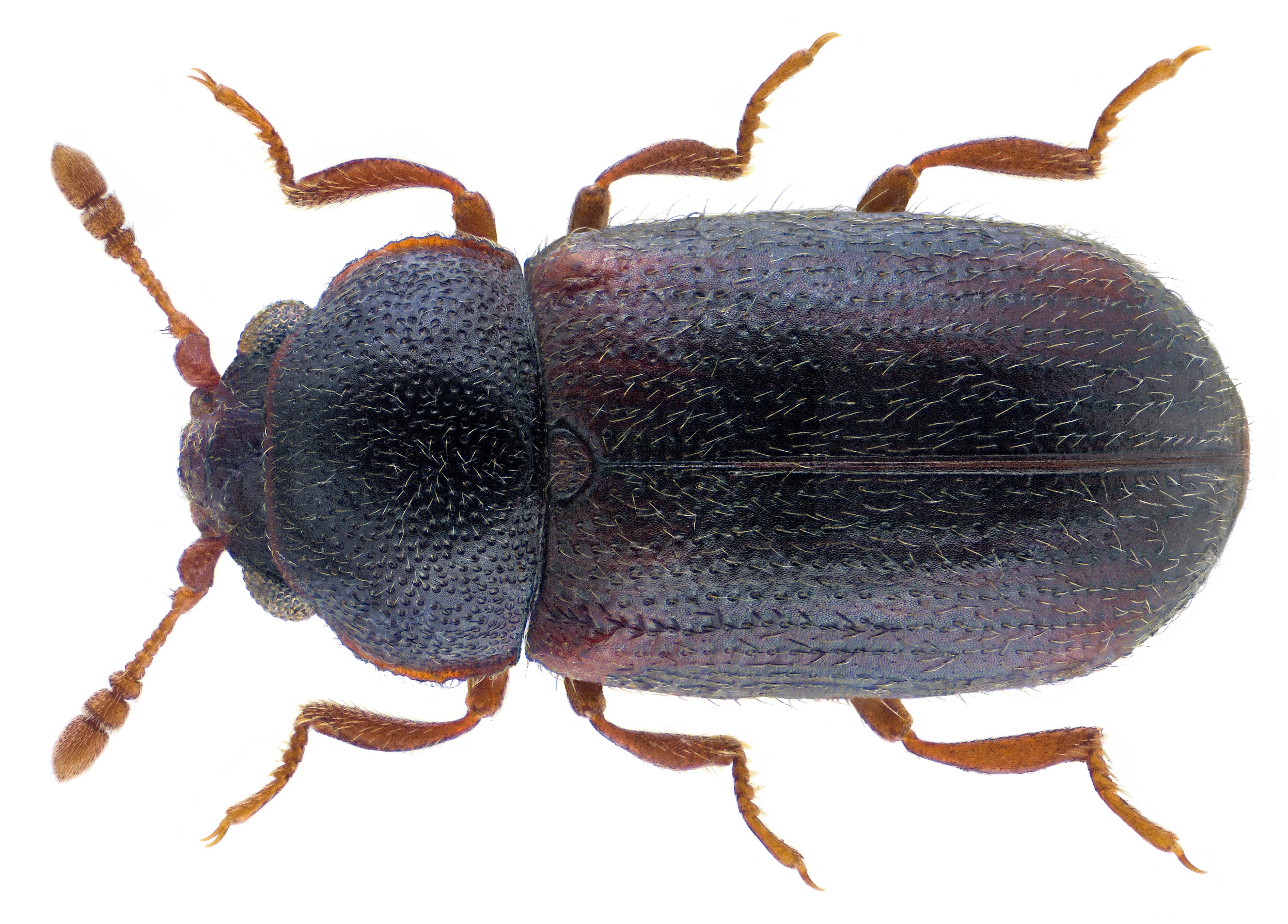 Image of <i>Sphindus dubius</i> (Gyllenhal 1808) Gyllenhal 1808