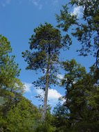 Image of Arizona Cypress