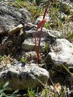 Image of <i>Tulipa sylvestris</i> ssp. <i>australis</i> (Link) Pamp.