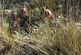 Image of <i>Fritillaria lusitanica</i> Wikstr.