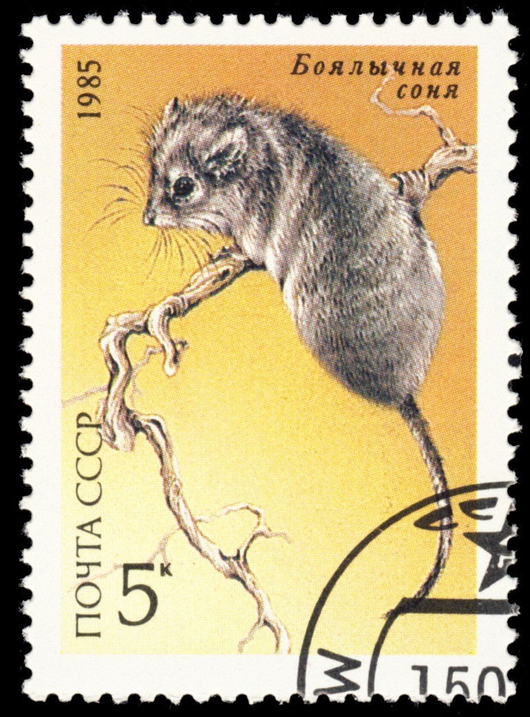 Image of thick-tailed pygmy jerboa