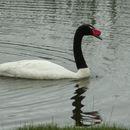 Image of Black-necked Swan