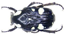 Image of <i>Discopeltis tricolor</i> Burmeister 1842