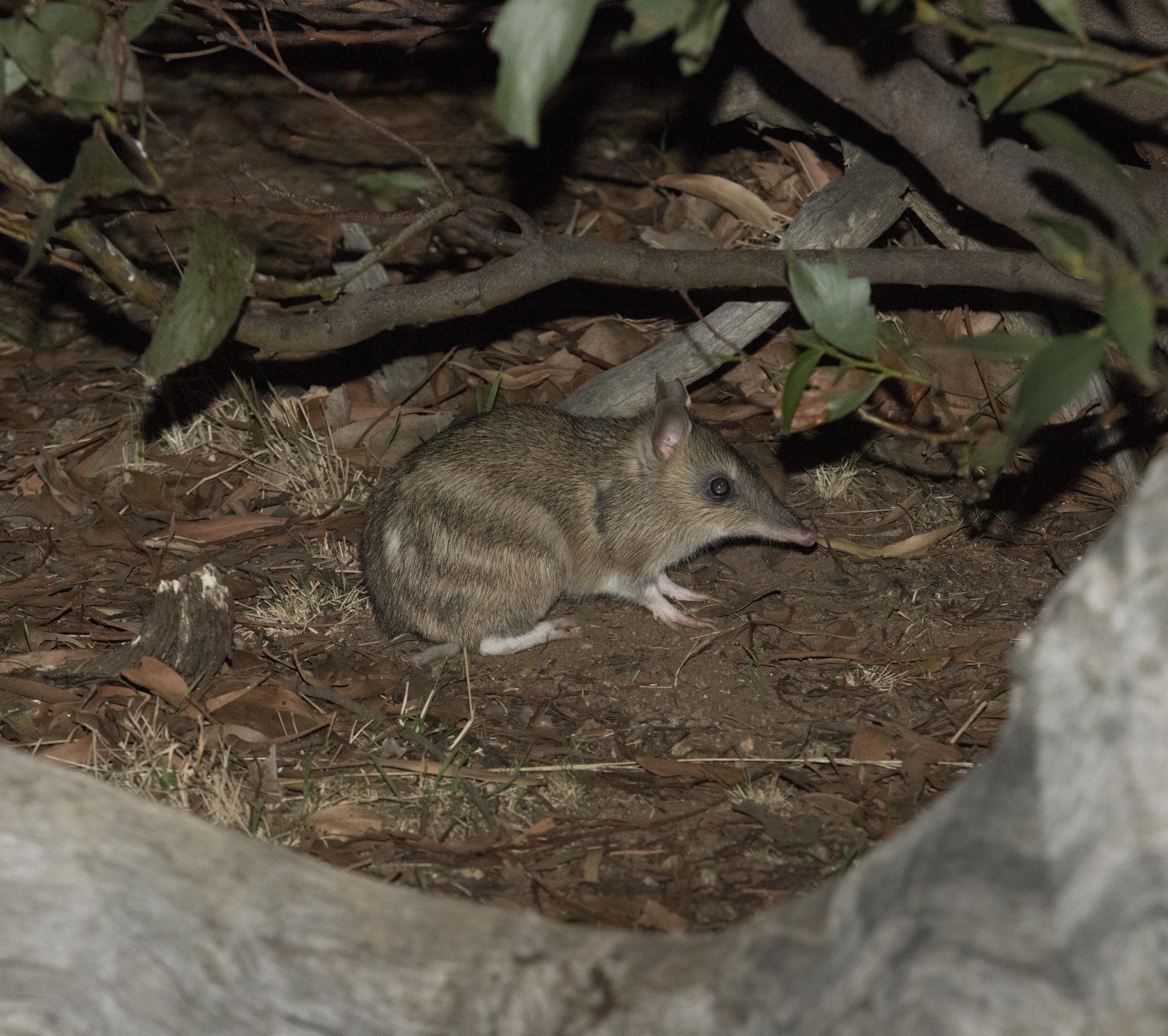 Image of Eastern Barred Bandicoot