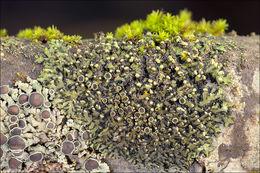 Image of wreath lichen