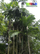 Image of betel palm