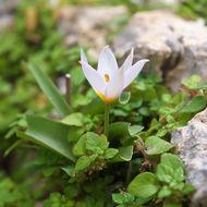 Image of <i>Tulipa cretica</i> Boiss. & Heldr.