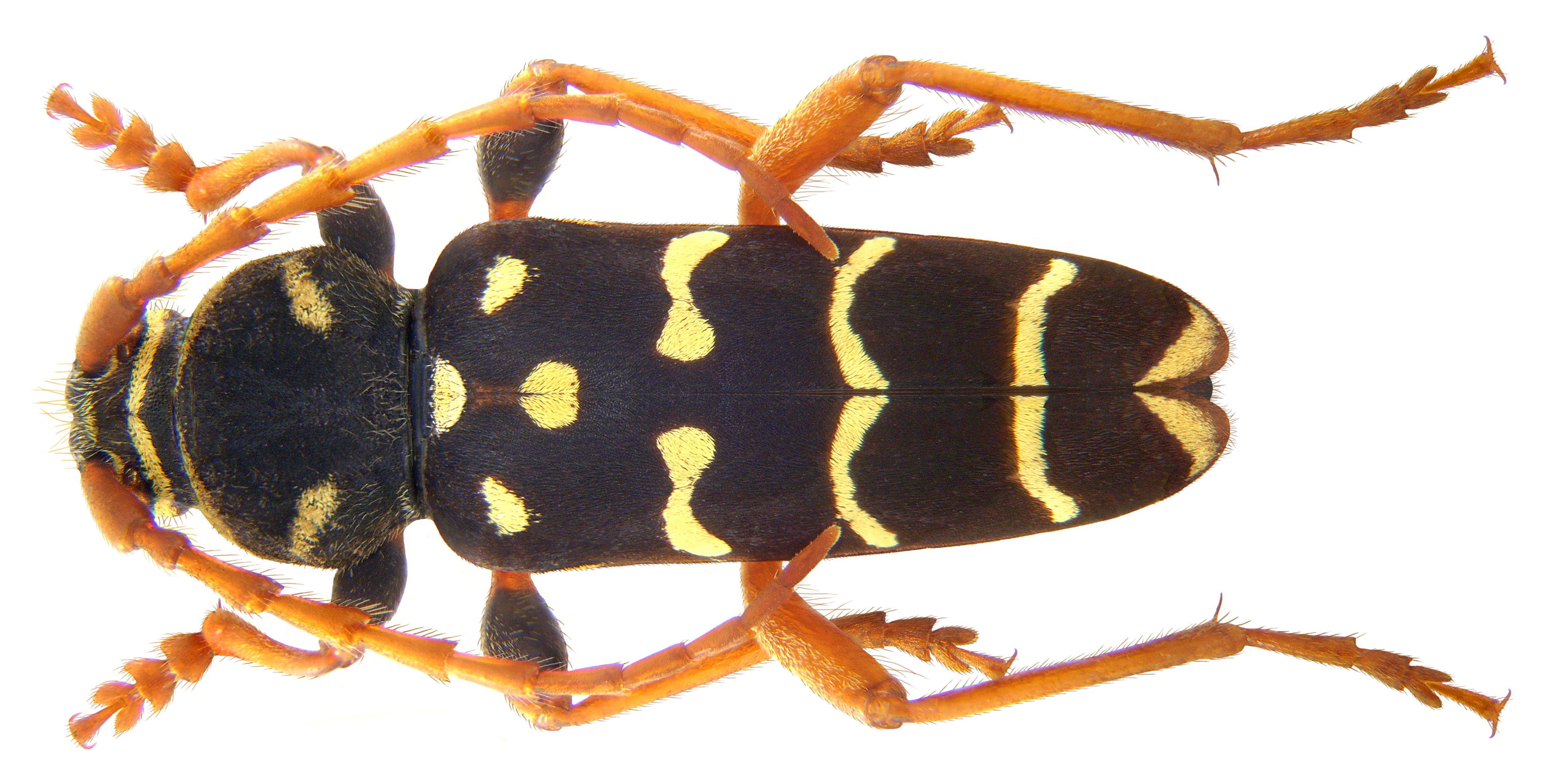 Image of <i>Plagionotus arcuatus</i> (Linne 1758)