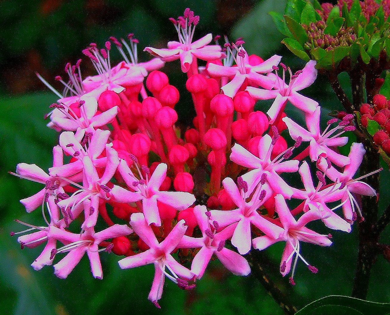 Image of rose glorybower