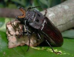 Image of <i>Mallodon spinibarbis</i>
