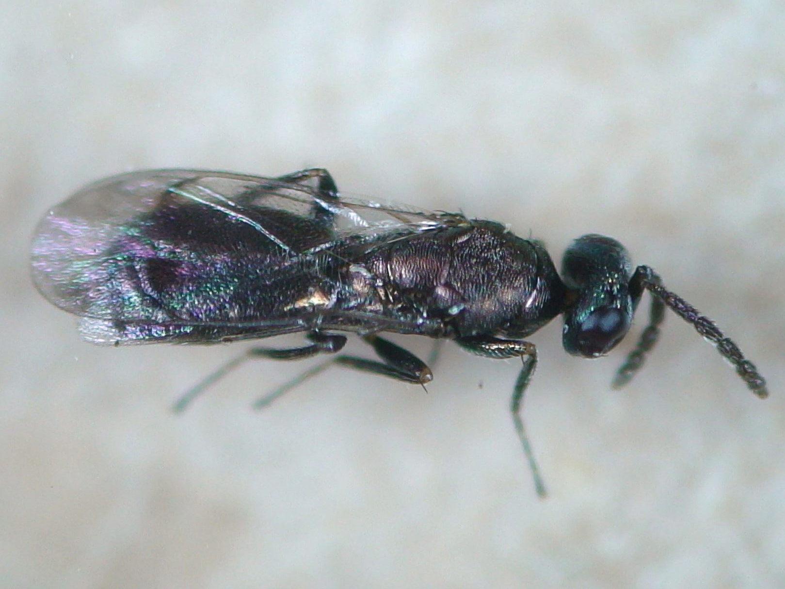 Image of <i>Necremnus cosconius</i> (Walker 1839)
