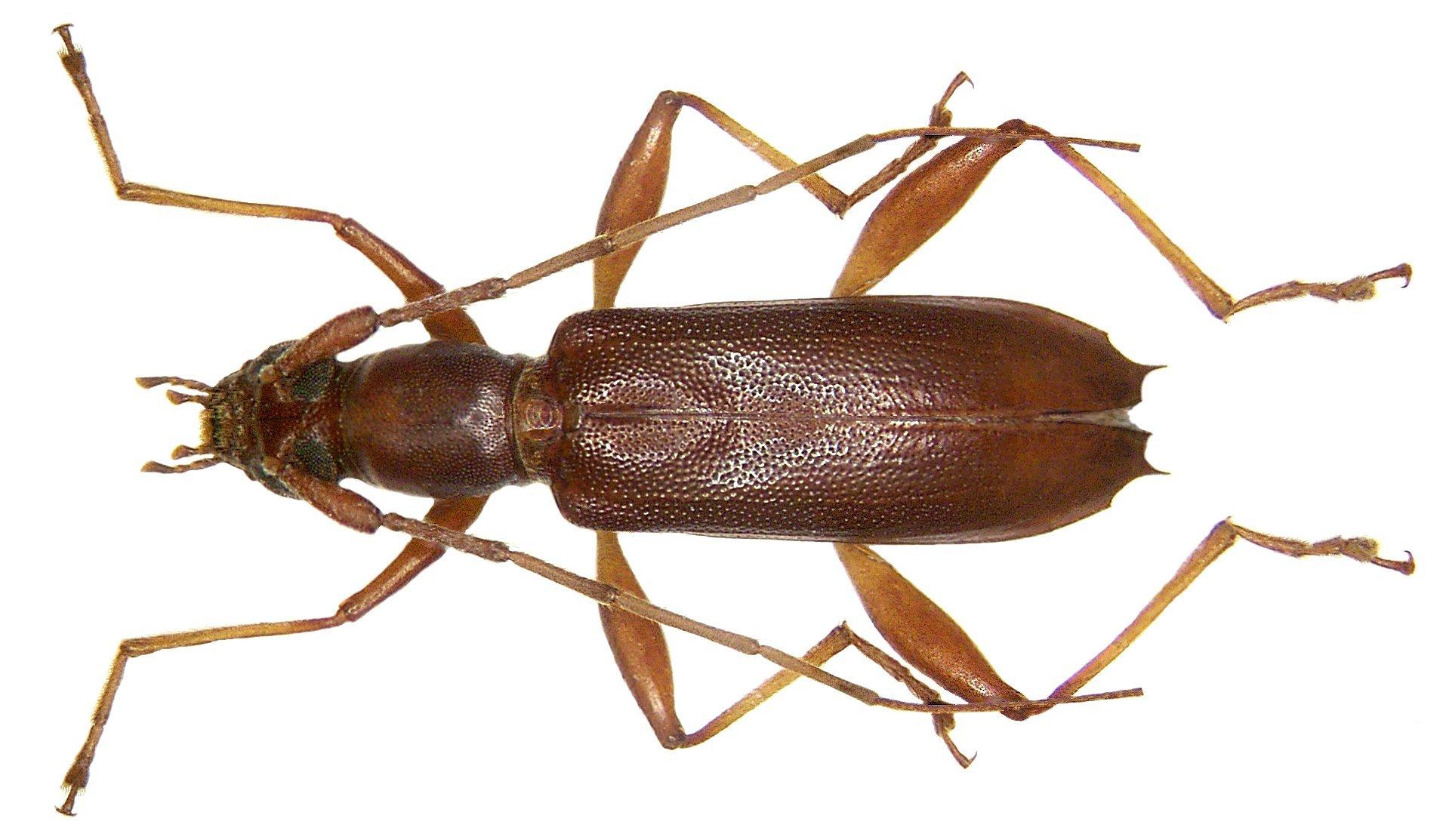 Image of <i>Tethionea tridentata</i> Pascoe 1869