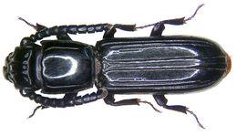 Image of <i>Passandra trigemina</i> Newman 1839