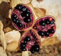 Image of <i>Paeonia broteri</i> Boiss. & Reut.