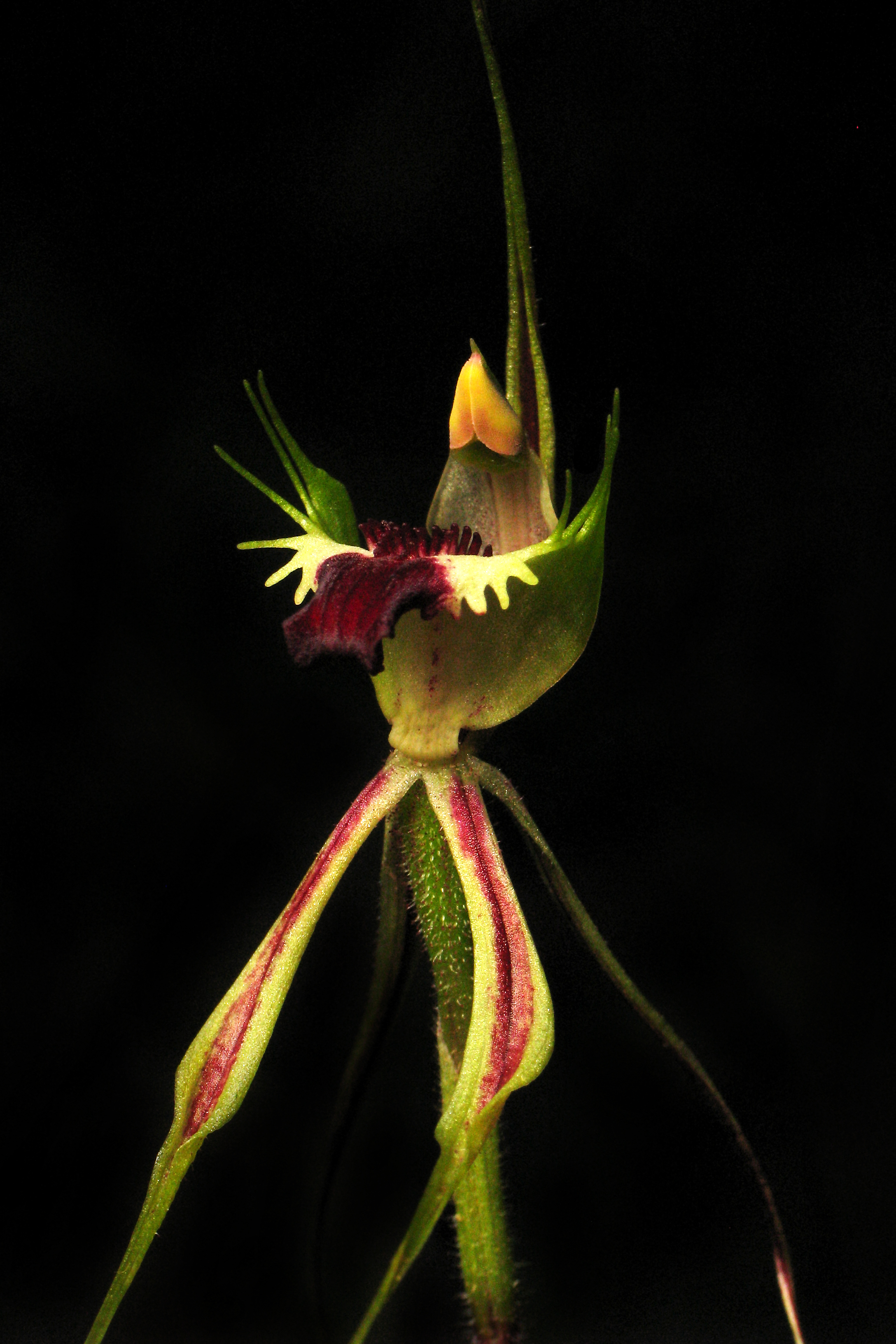 Image of Thin-clubbed mantis orchid