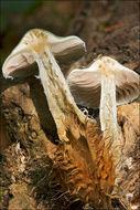 Image of verdigris agaric