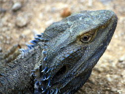 Image of Bearded Dragon