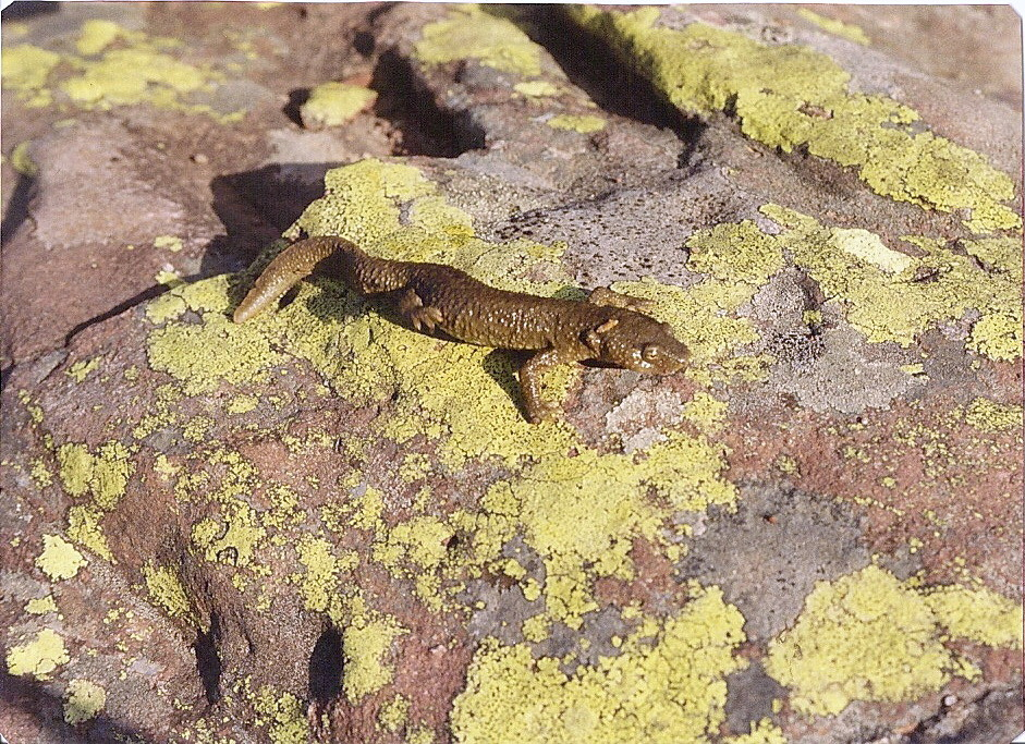 Image of Pyrenean brook salamander