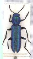 Image of <i>Psilothrix viridicoerulea</i> (Geoffroy 1785) Geoffroy 1785