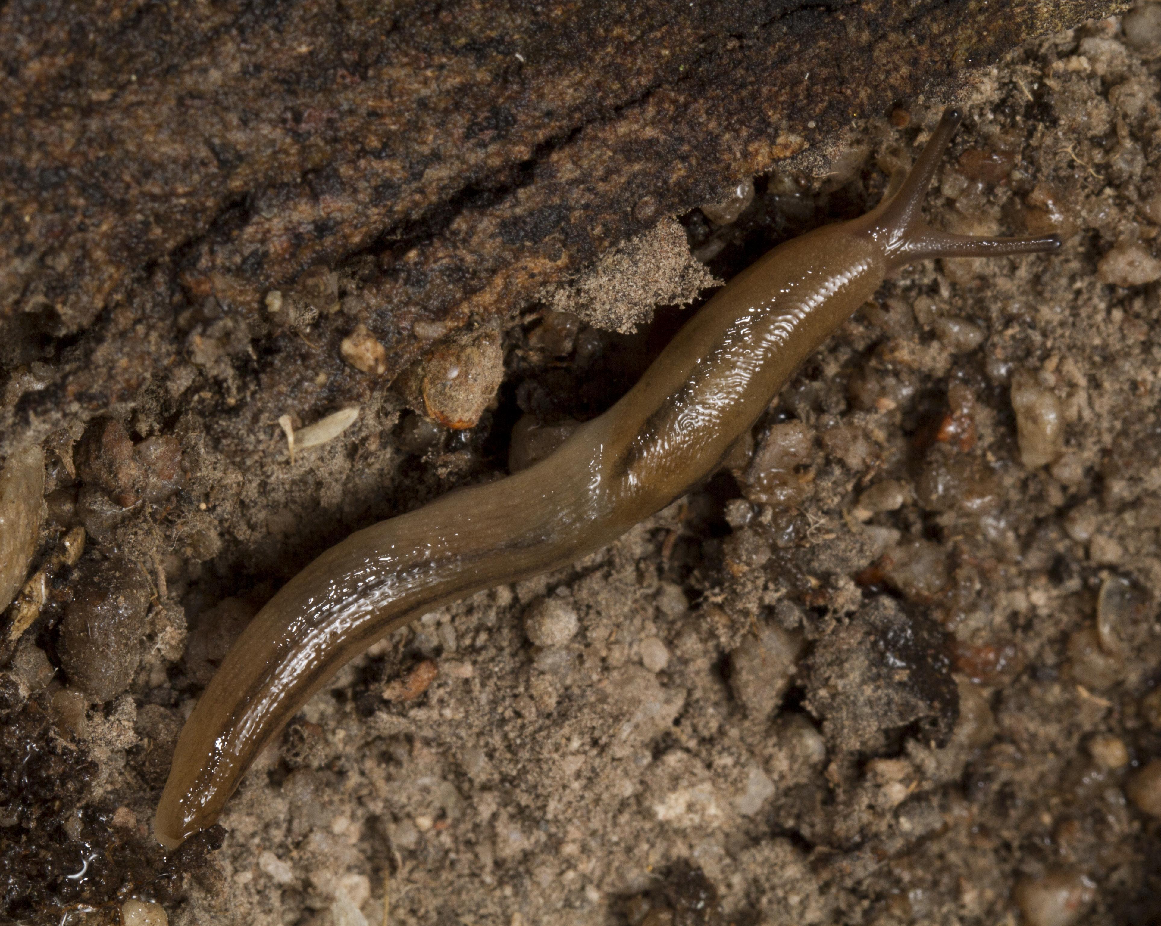 Image of <i>Ambigolimax nyctelius</i> (Bourguignat 1861)