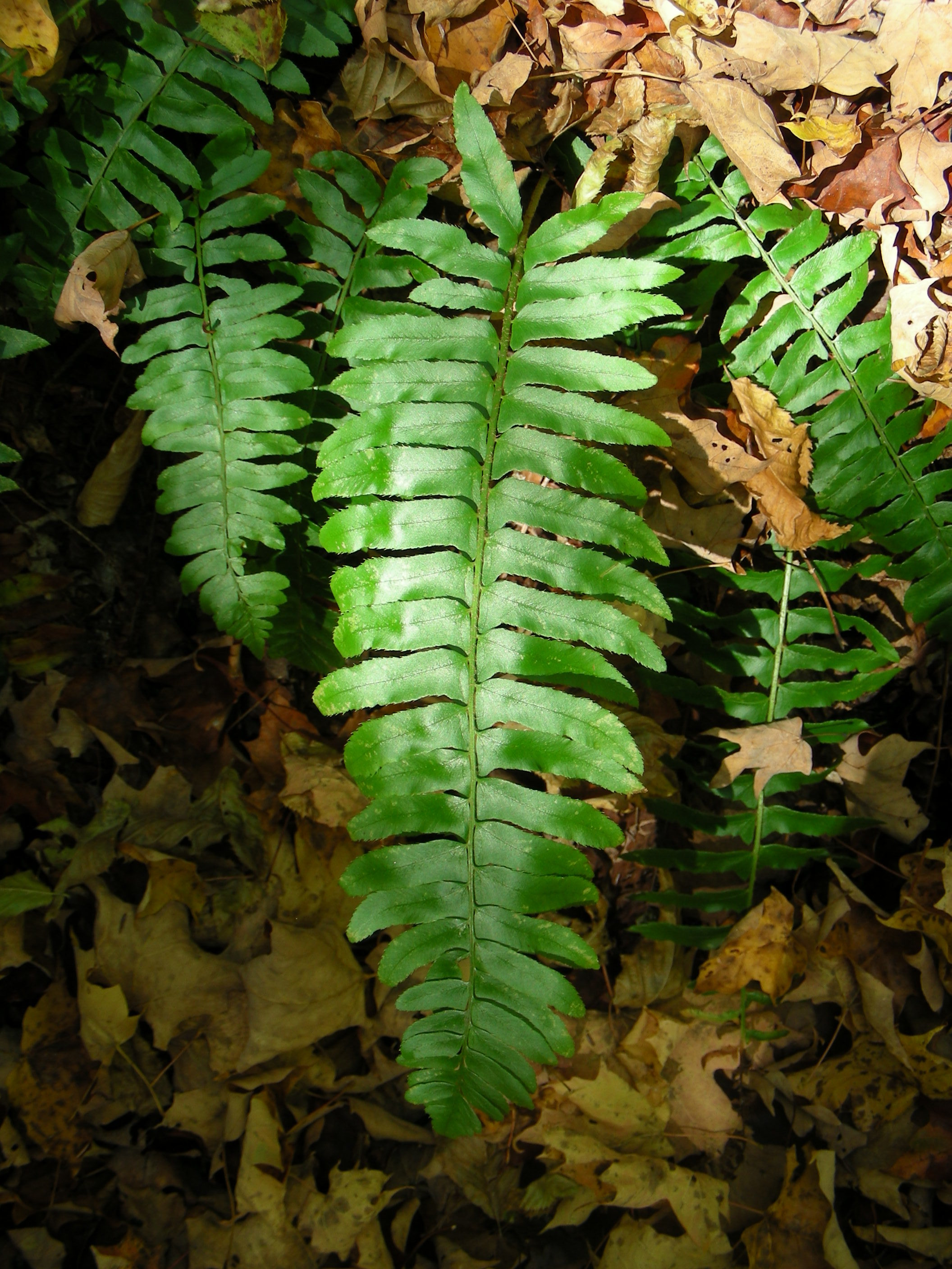 Image of Christmas fern