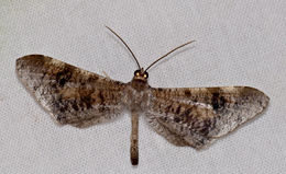Image of <i>Macrosoma conifera</i> Warren 1897