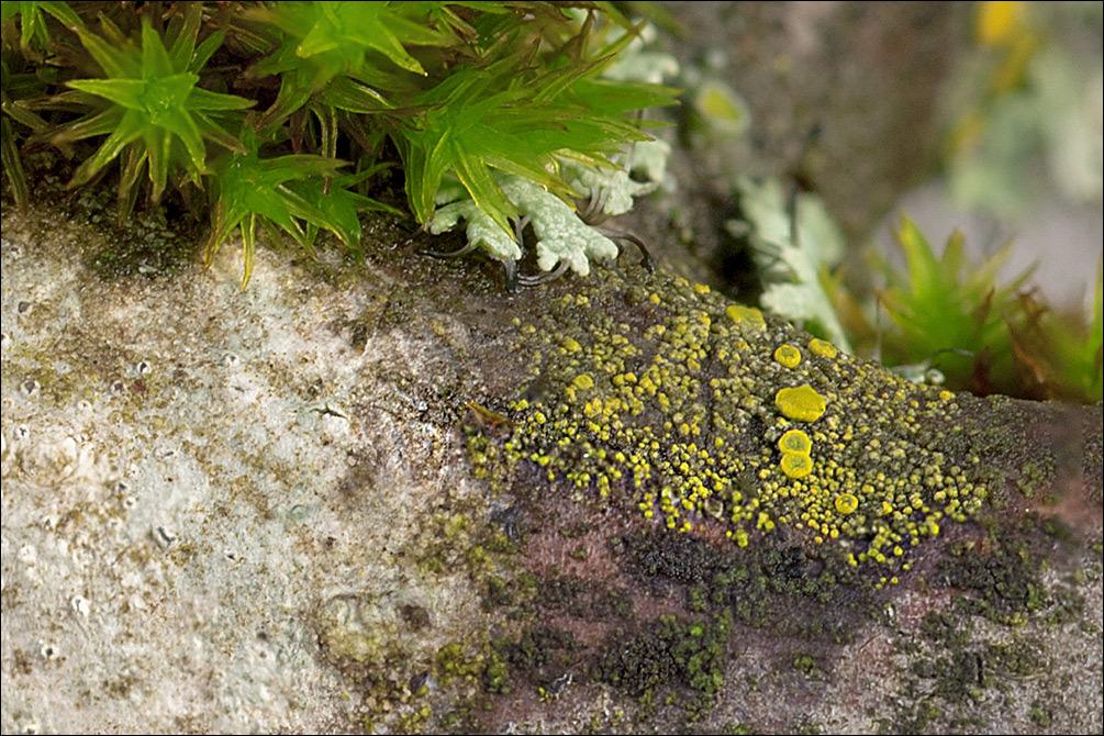Image of eggyolk lichen