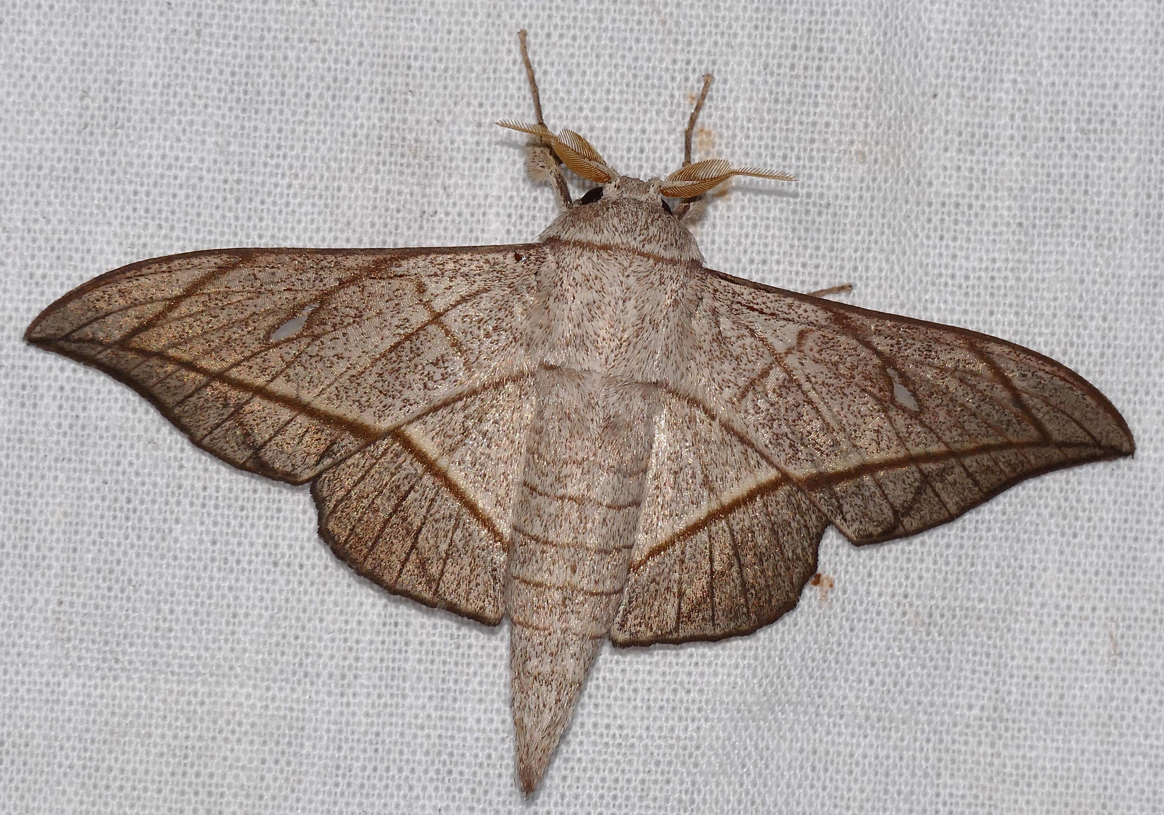 Image of <i>Bedosia fraterna</i> Schaus 1905