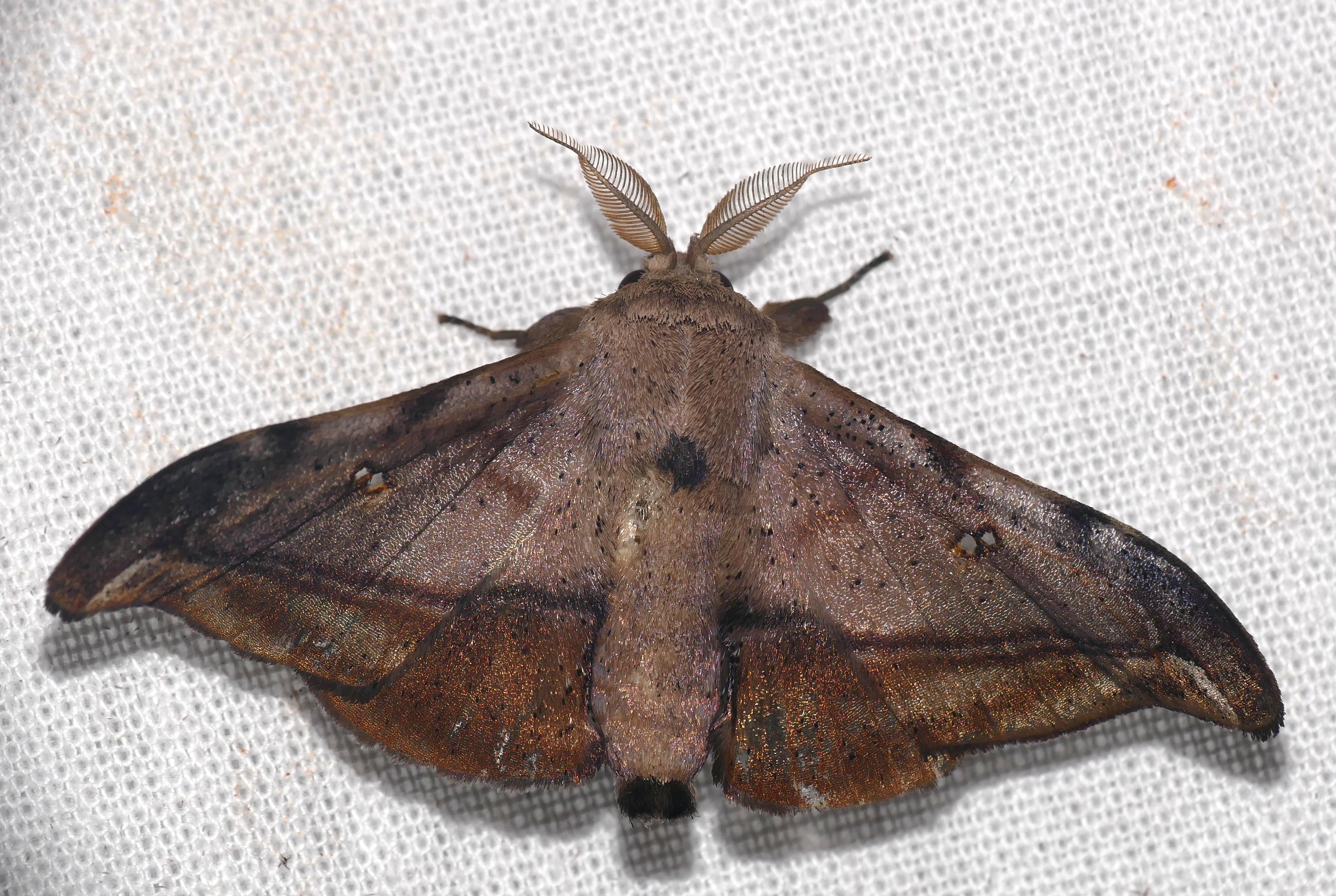 Image of <i>Cicinnus submarcata</i> Schaus 1905