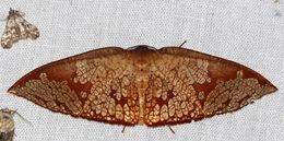 Image of <i>Belonoptera reticulata</i>