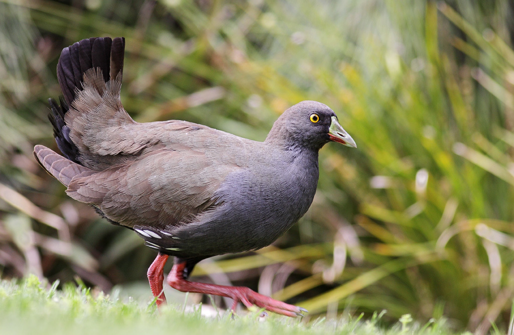 Image of Black-tailed Native-hen