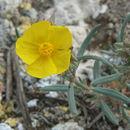Image of <i>Helianthemum syriacum</i> (Jacq.) Dum.-Courset