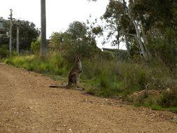 Image of Eastern Grey Kangaroo