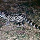 Image of Common Genet