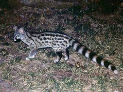 Image of Common Genet