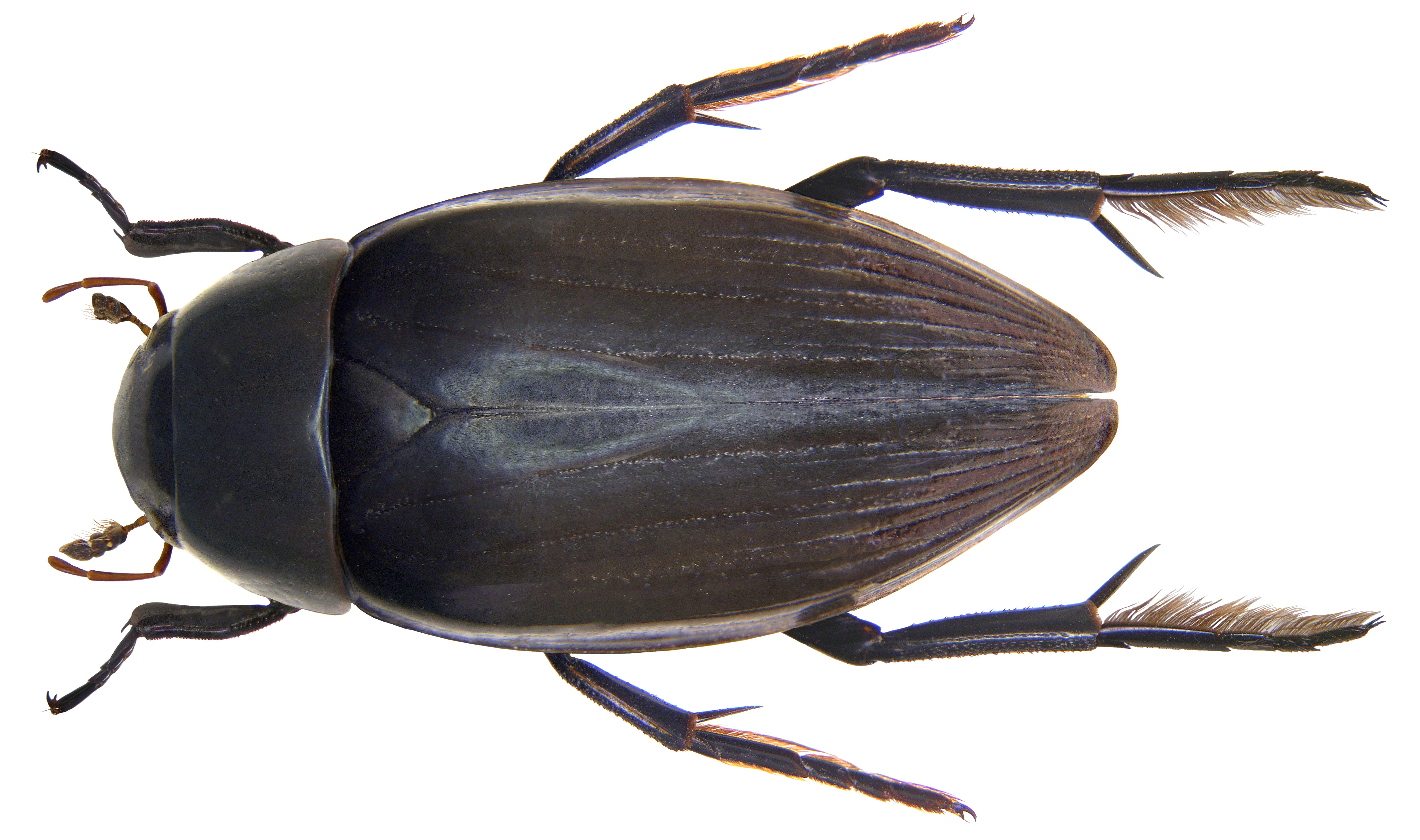 Image of Brown Hydrophile