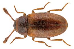 Image of <i>Pseudotriphyllus suturalis</i> (Fabricius 1801)