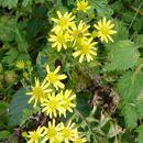 Image of <i>Inula vicosa</i>