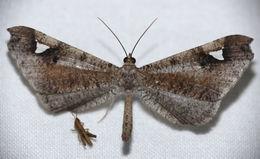 Image of <i>Macrosoma nigrimacula</i> Warren 1897