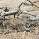 Image of African Leopard
