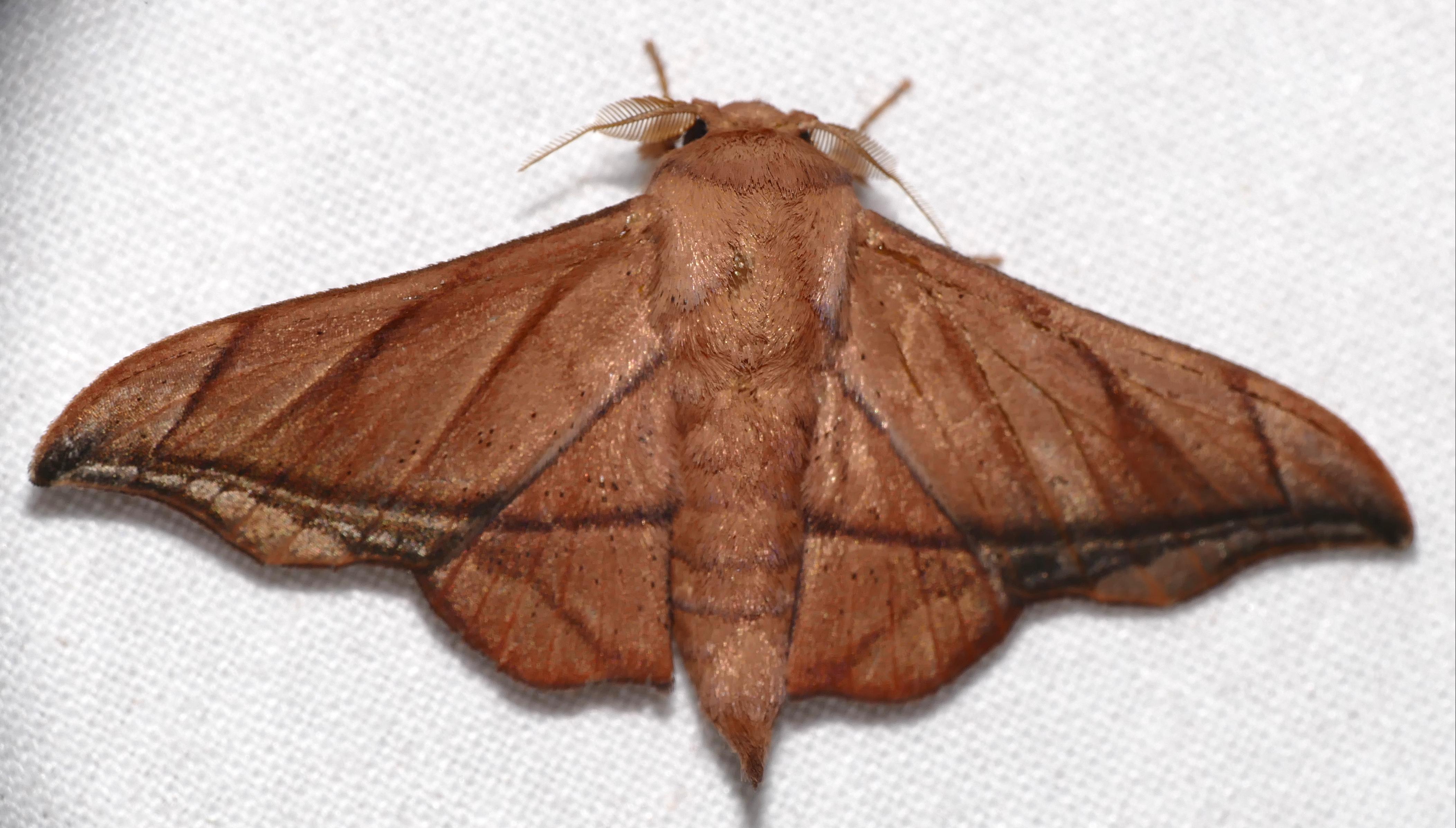 Image of <i>Biterolfa althea</i>