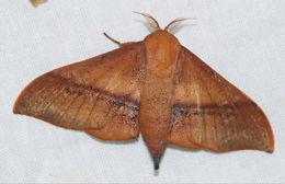 Image of <i>Cicinnus joanna</i> Schaus 1905