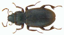Image of <i>Hydraena ilamensis</i>