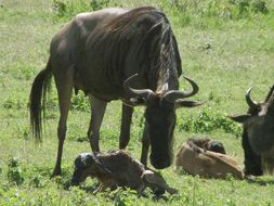 Image of Blue Wildebeest